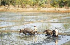 L'agricoltore sta arando un giacimento del riso Fotografie Stock Libere da Diritti