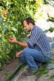 L'agricoltore sta controllando la crescita del pomodoro Immagine Stock Libera da Diritti