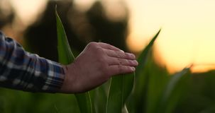 L'agricoltore sta esaminando le piante coltivate del cereale nel tramonto Chiuda su della mano che tocca la foglia di mais nel ca video d archivio