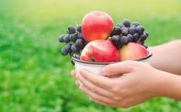 L'agricoltore sta giudicando le mele fresche e l'uva riunite nel giardino l'autunno e l'estate raccolgono un piatto delle vitamin fotografie stock libere da diritti