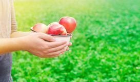 L'agricoltore sta giudicando le mele fresche riunite nel giardino l'autunno e l'estate raccolgono un piatto delle vitamine immagine stock libera da diritti