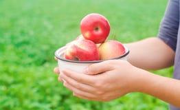 L'agricoltore sta giudicando le mele fresche riunite nel giardino l'autunno e l'estate raccolgono un piatto delle vitamine immagini stock libere da diritti