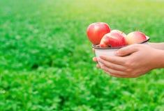 L'agricoltore sta giudicando le mele fresche riunite nel giardino l'autunno e l'estate raccolgono un piatto delle vitamine fotografia stock libera da diritti