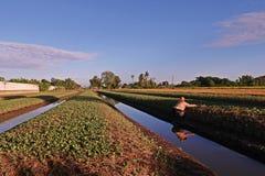 L'agricoltore sta lavorando nell'azienda agricola, cultivition cinese del cavolo nello stato basso della terra Immagine Stock