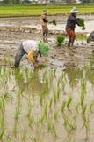 L'agricoltore sta piantando il riso Fotografie Stock Libere da Diritti