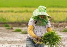 L'agricoltore sta piantando il riso Fotografia Stock Libera da Diritti