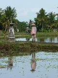 L'agricoltore sta piantando il riso sui campi Fotografia Stock Libera da Diritti