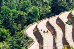 L'agricoltore sta piantando il riso sul campo a terrazze per la nuova stagione Fotografia Stock