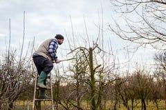 L'agricoltore sta potando i rami degli alberi da frutto in frutteto facendo uso dei loppers lunghi sulle scale Fotografie Stock