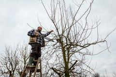 L'agricoltore sta potando i rami degli alberi da frutto in frutteto facendo uso di lungamente Immagini Stock