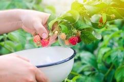 L'agricoltore sta raccogliendo i lamponi freschi nel giardino sull'Unione Sovietica fotografia stock libera da diritti