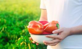 L'agricoltore sta raccogliendo il pepe nel campo Verdure organiche sane fresche agricoltura immagini stock libere da diritti