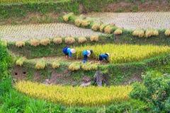 L'agricoltore sta raccogliendo il riso sul campo a terrazze Fotografia Stock