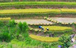 L'agricoltore sta raccogliendo il riso sul campo a terrazze Immagini Stock Libere da Diritti