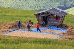 L'agricoltore sta raccogliendo il risone originale del gelsomino Fotografie Stock