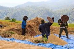 L'agricoltore sta raccogliendo il risone originale del gelsomino Fotografia Stock Libera da Diritti