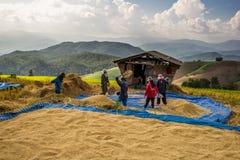 L'agricoltore sta raccogliendo il risone originale del gelsomino Fotografie Stock Libere da Diritti