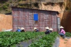 L'agricoltore sta raccogliendo la fragola sul campo in Dalat, Vietnam Fotografia Stock Libera da Diritti