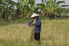 L'agricoltore sta raccogliendo la pianta di riso Fotografie Stock Libere da Diritti