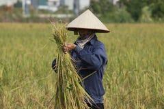 L'agricoltore sta raccogliendo la pianta di riso Immagini Stock