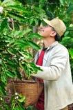 L'agricoltore sta raccogliendo le bacche di caffè Immagini Stock