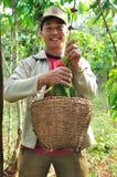 L'agricoltore sta raccogliendo le bacche di caffè Immagine Stock
