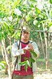 L'agricoltore sta raccogliendo le bacche di caffè Fotografie Stock