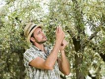 L'agricoltore sta raccogliendo le olive Immagine Stock