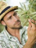 L'agricoltore sta raccogliendo le olive Fotografia Stock Libera da Diritti