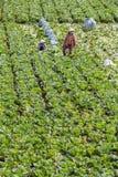 L'agricoltore sta raccogliendo le verdure Fotografia Stock