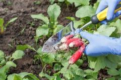 L'agricoltore sta selezionando il ravanello maturo rosso fresco sul letto del giardino Fotografie Stock Libere da Diritti