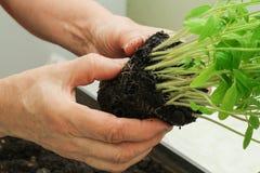 L'agricoltore sta tenendo il primo piano delle piantine del pomodoro Fotografia Stock