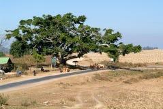 L'agricoltore su una biga ha tirato dalle mucche nella campagna di Pindaya Immagini Stock