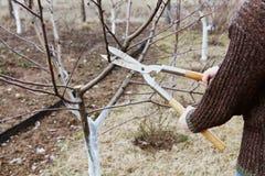 L'agricoltore taglia con gli alberi da frutto dei tagli della potatura in giardino Immagini Stock Libere da Diritti