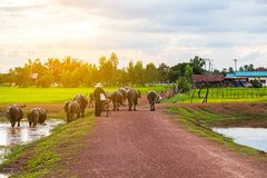 L'agricoltore tailandese porta ad incrocio del bufalo di nuovo a casa la strada non asfaltata vicino al LAK Immagini Stock
