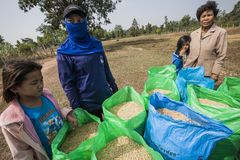 L'agricoltore tailandese raccoglie il riso in grandi borse durante la stagione del raccolto, in un giacimento del riso in Tailand Fotografie Stock Libere da Diritti