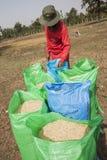 L'agricoltore tailandese raccoglie il riso in grandi borse durante la stagione del raccolto, in un giacimento del riso in Tailand Fotografie Stock