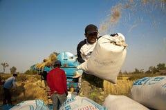 L'agricoltore tailandese raccoglie il riso in grandi borse durante la stagione del raccolto, in un giacimento del riso in Tailand Fotografia Stock Libera da Diritti