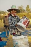 L'agricoltore tailandese raccoglie il riso in grandi borse durante la stagione del raccolto, in un giacimento del riso in Tailand Fotografia Stock