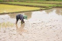 L'agricoltore tailandese sta facendo l'agricoltura del riso Fotografia Stock