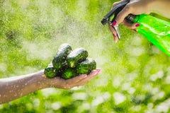 L'agricoltore tiene i cetrioli organici freschi in sue mani Tenuta dei cetrioli verdi in mani e lavare con uno spruzzatore Immagine Stock