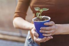 L'agricoltore tiene i germogli del pepe in vaso prima della piantatura in terra fotografia stock