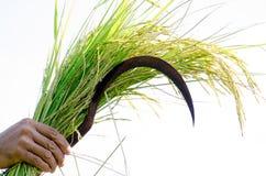 L'agricoltore tiene le spighe del granoturco e del raccolto sul livello con orgoglio in Fotografie Stock