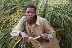L'agricoltore tradizionale trasporta il fieno fresco, Tanzania Fotografia Stock Libera da Diritti