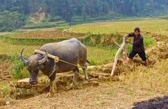 L'agricoltore vietnamita del nord lavora il suo campo con il bue e l'aratro di legno Immagine Stock