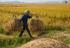 L'agricoltore vietnamita del nord raccoglie il campo Fotografia Stock Libera da Diritti