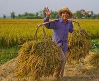 L'agricoltore vietnamita del nord raccoglie il campo Fotografie Stock