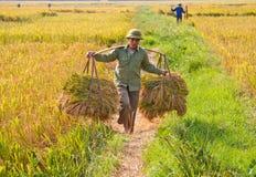 L'agricoltore vietnamita del nord raccoglie il campo Immagine Stock Libera da Diritti
