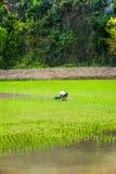 L'agricoltore vietnamita lavora al giacimento del riso Ninh Binh, Vietnam Immagini Stock Libere da Diritti