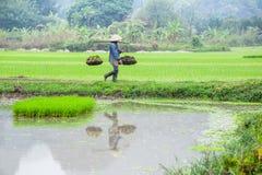 L'agricoltore vietnamita lavora al giacimento del riso Ninh Binh, Vietnam Immagine Stock